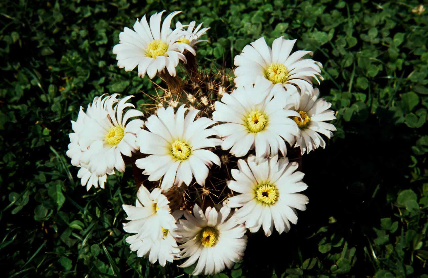 Acanthocalycium peitscherianum 1989