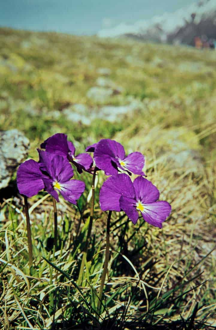Violaceae 2