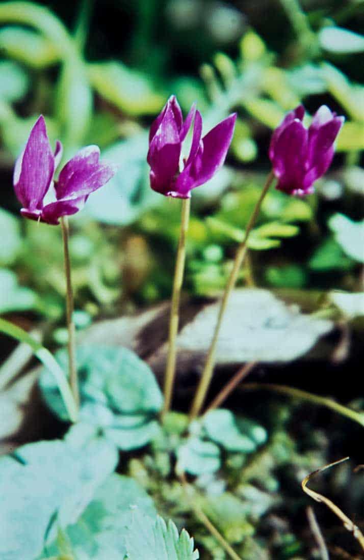 Alpen Veilchen 1965