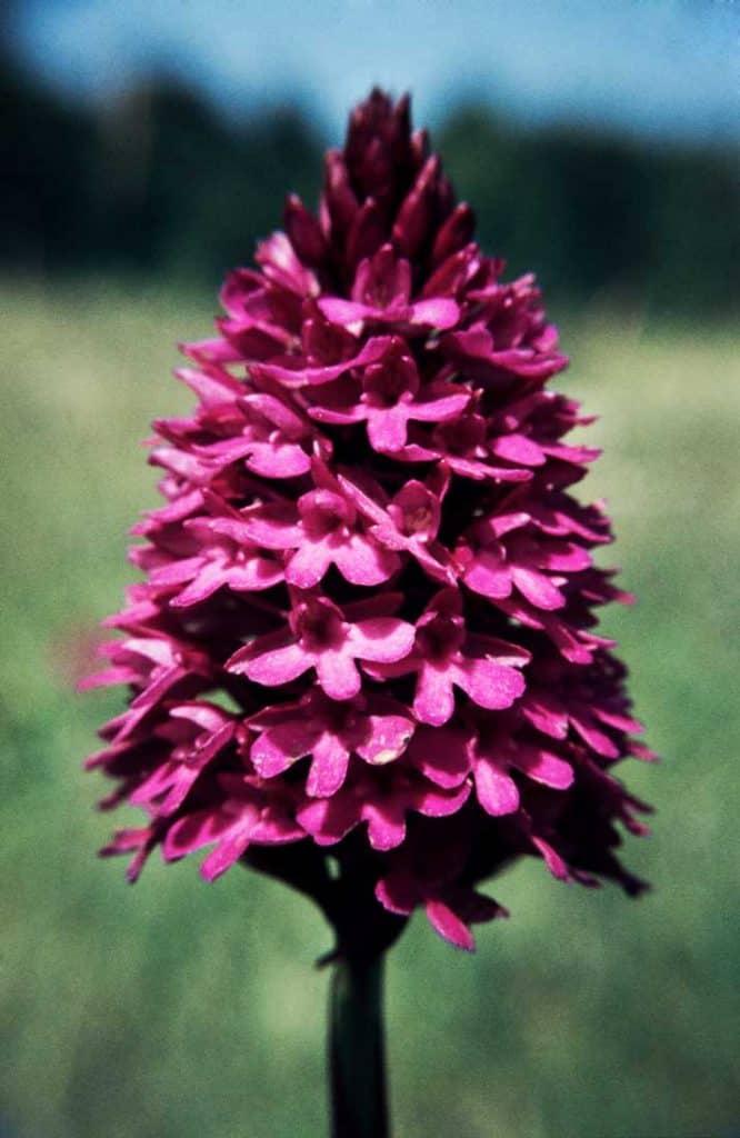Anacamptis-pyramidalis-1984