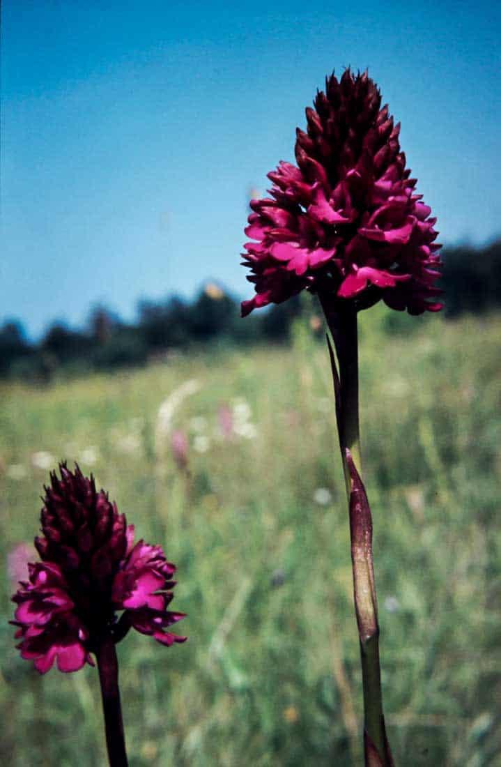 Anacamptis-pyramidalis-2-1984