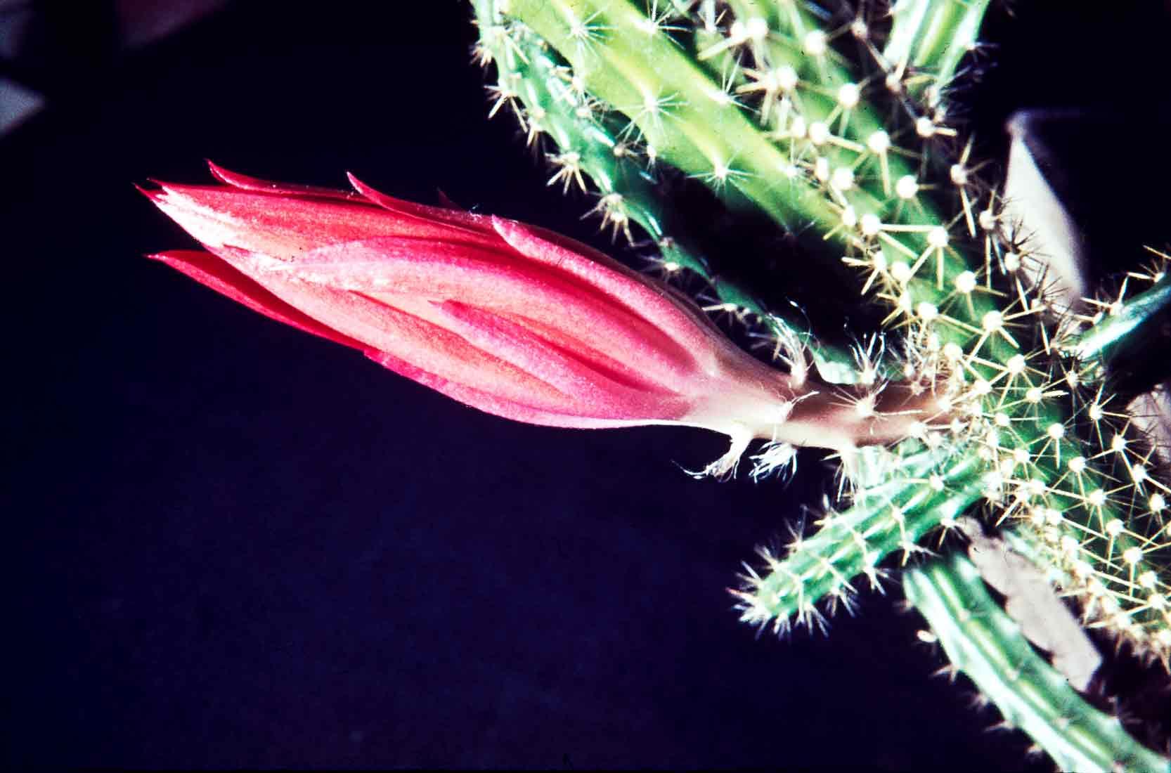 Aporocactus-1964