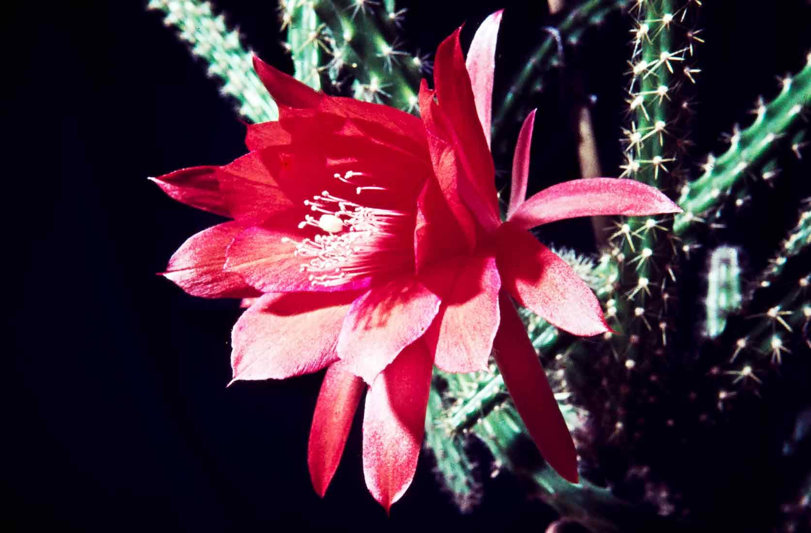 Aporocactus mallisonii 1964