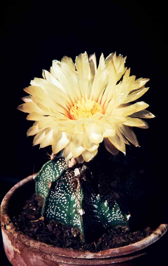 Astrophytum capricorne 1981