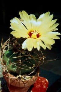 Astrophytum-senile-1980