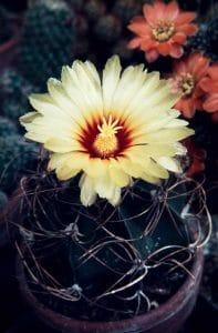 Astrophytum senile 1981