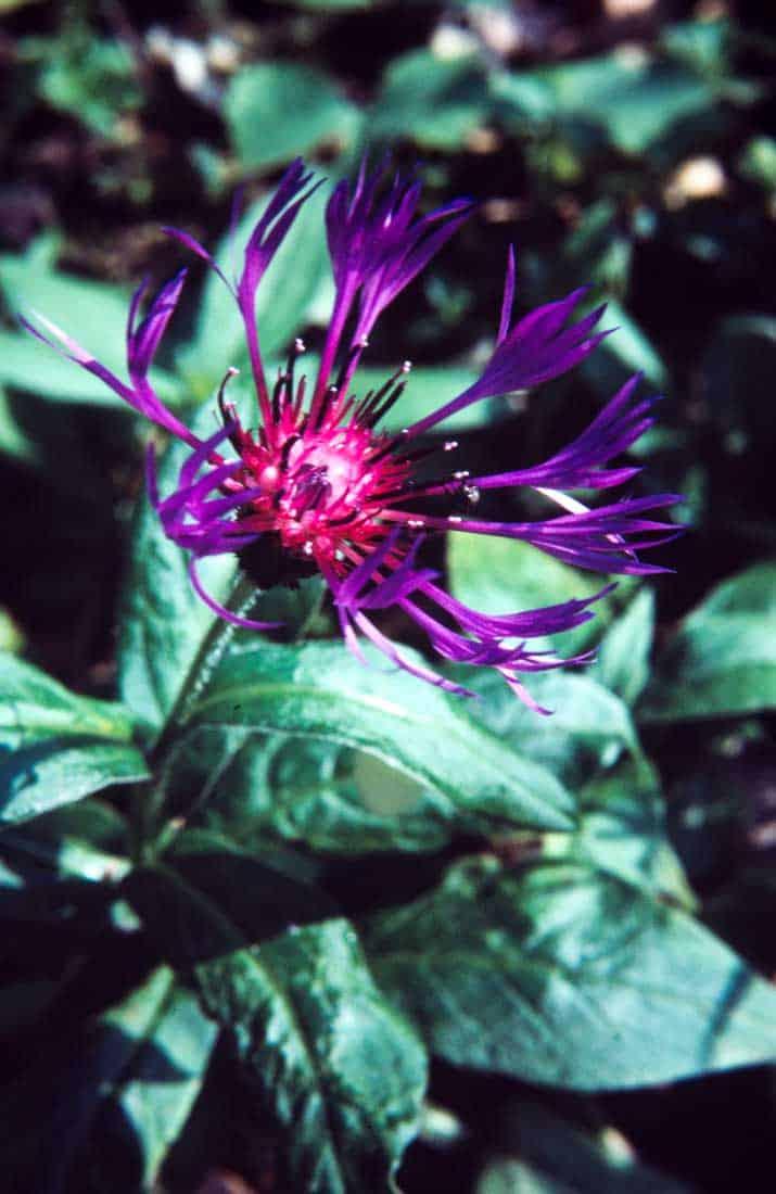 Berg-Flockenblume-1984