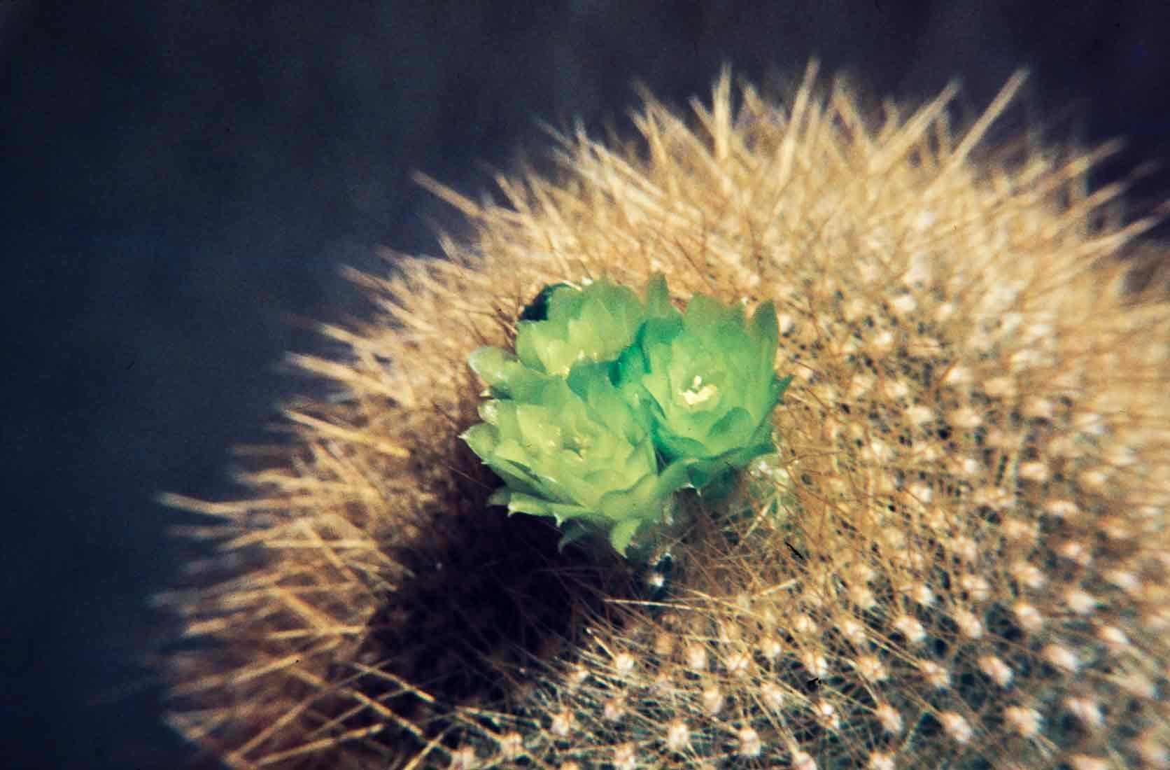 Brasilicactus-graessneri-1981