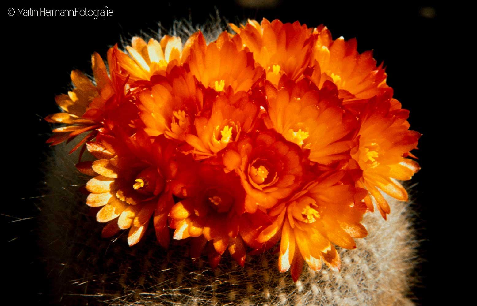 Brasilicactus-haselbergii