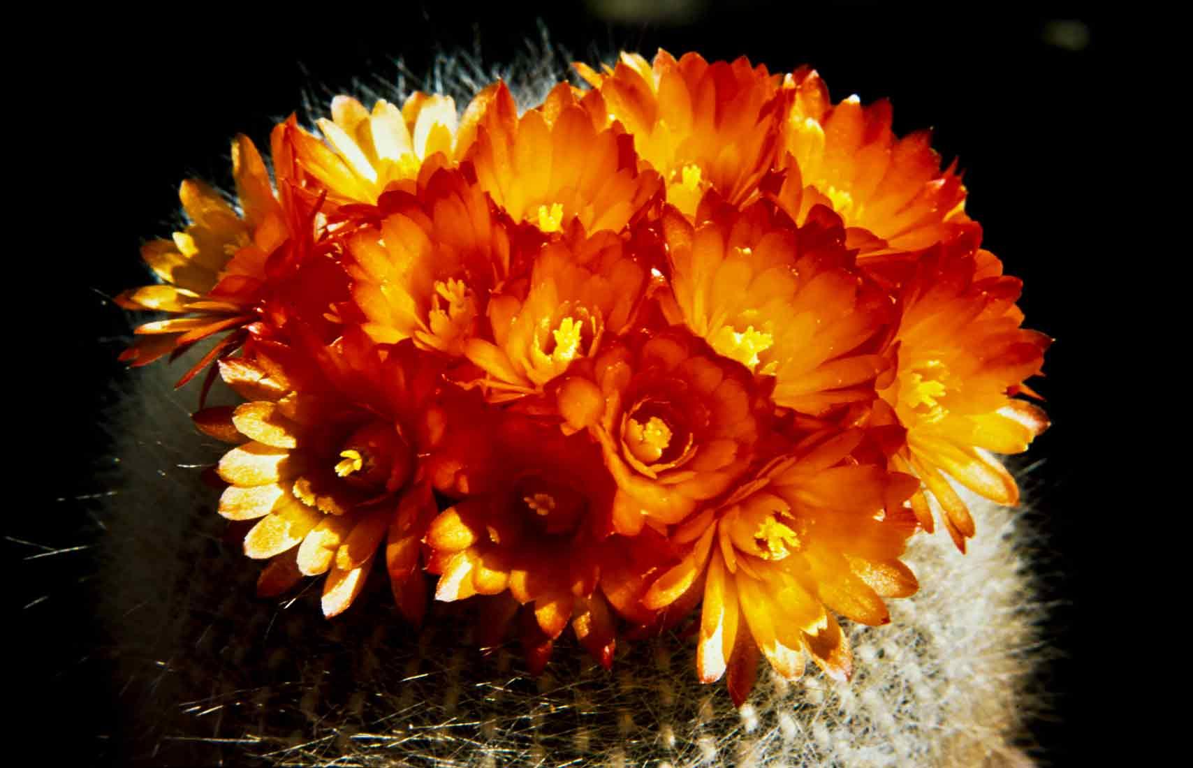 Brasilicactus-haselbergii-1989