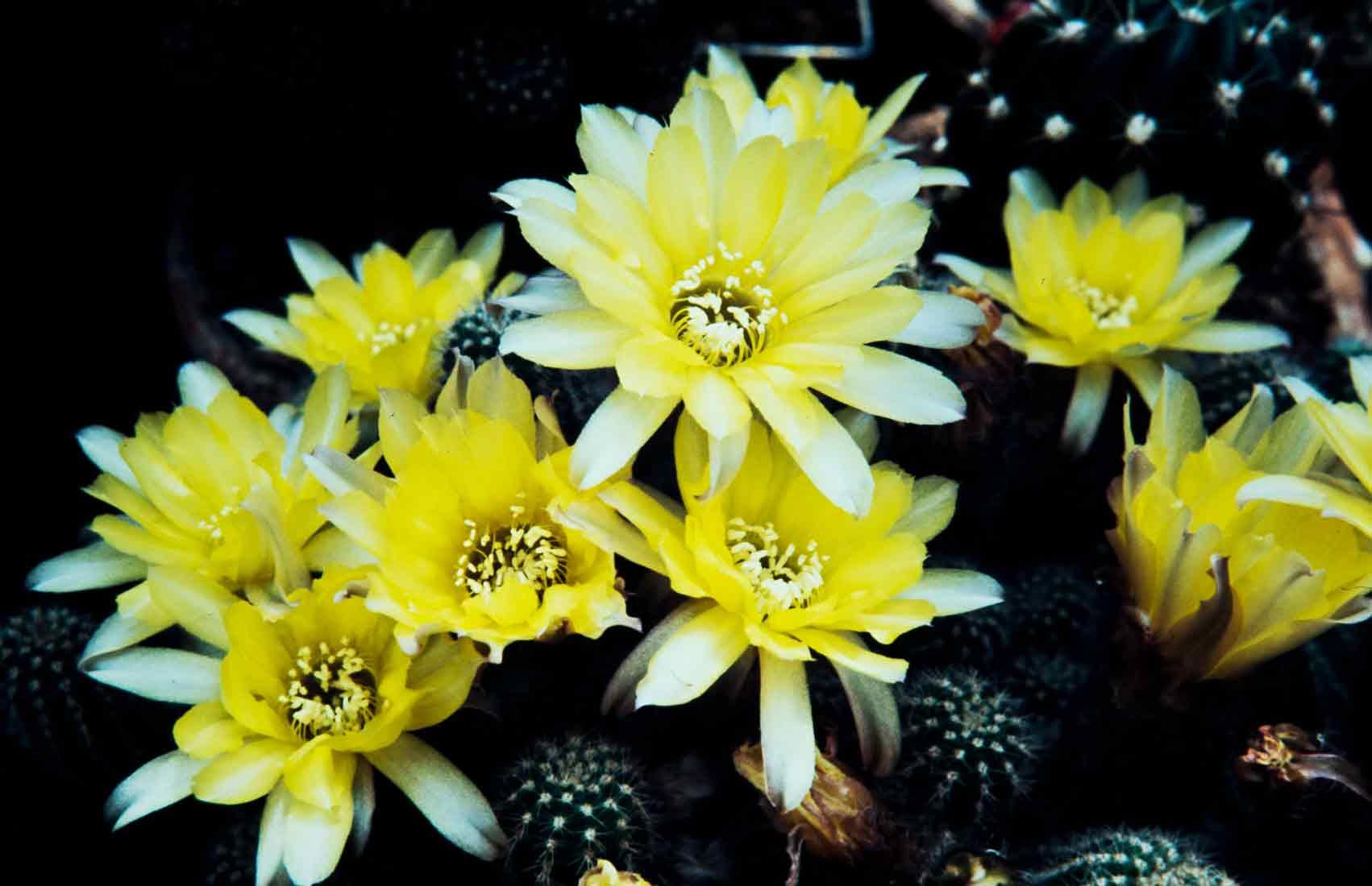 Chamaecereus-aurea-1988