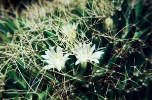 Dolichothele-camptotricha-1982