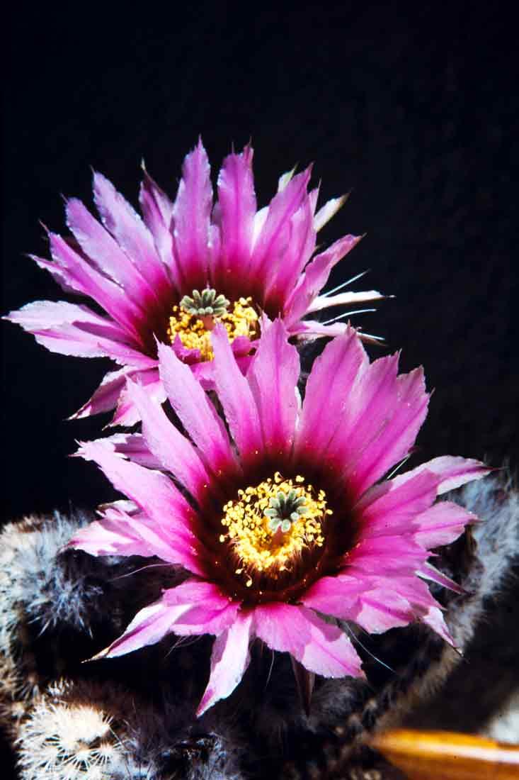 Echinocereus-1988