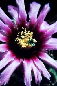 Echinocereus fitchii 1988