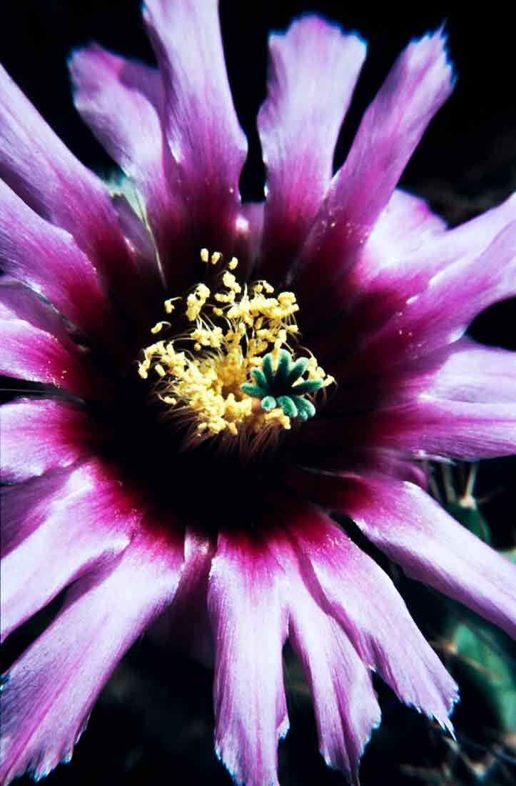 Echinocereus fitchiiDettingen 1988