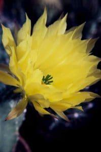 Echinocereus subinermis 1988