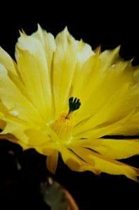 Echinocereus subinermis 1989