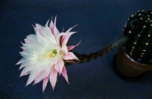 Echinopsis-1958