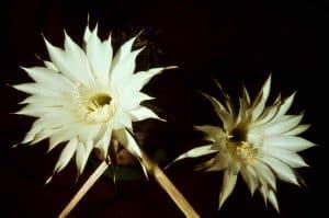 Echinopsis-1959