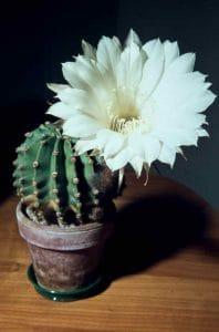 Echinopsis 1961