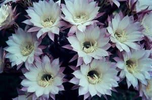 Echinopsis-1967 Kakteen mit Musik