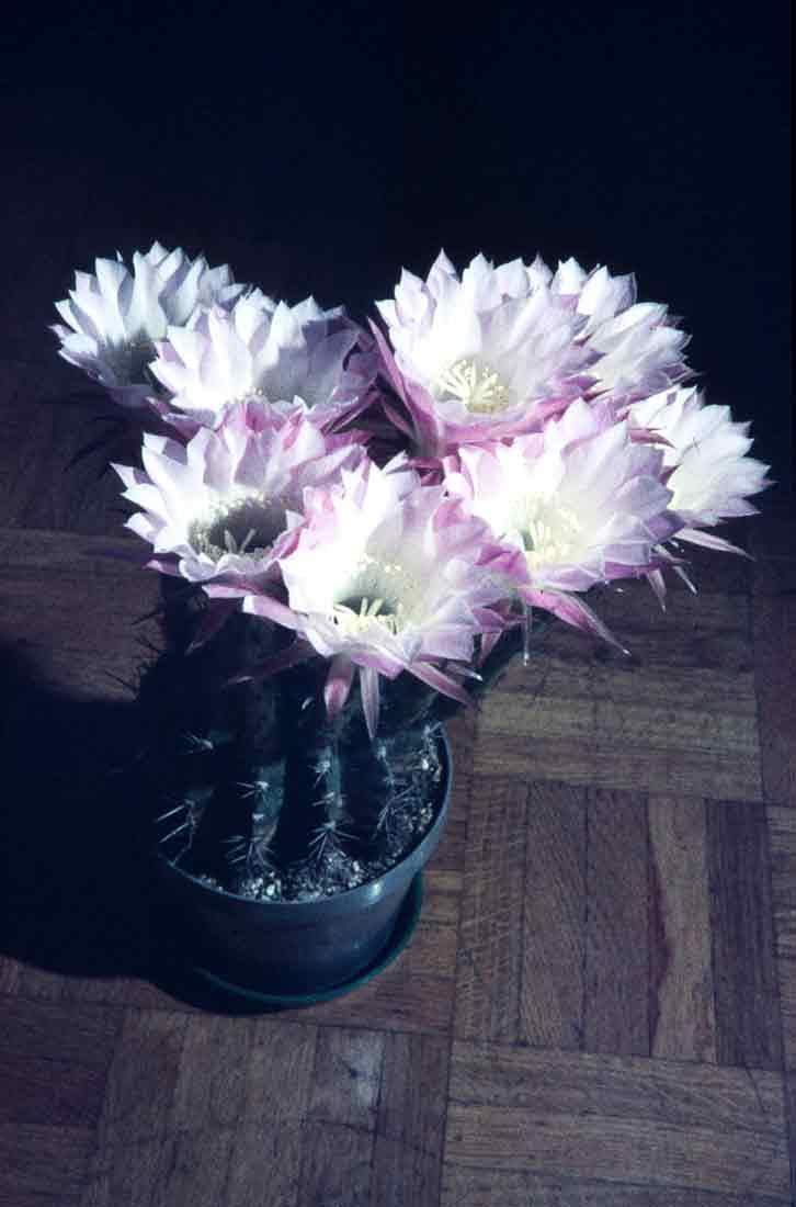 Echinopsis 1978