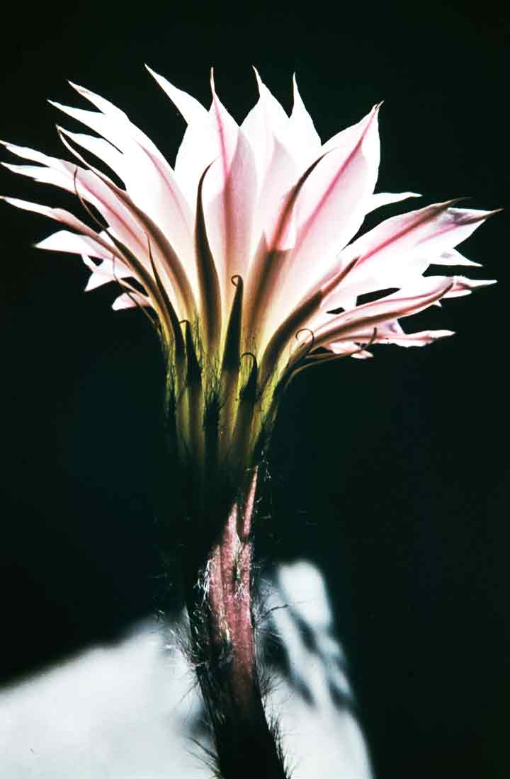 Saxifraga callosa EchinopsisFreudenstadt Mai 1958