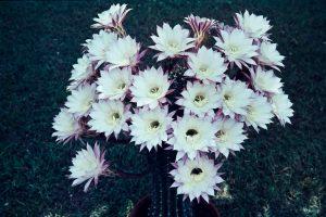 Echinopsis 2 1967
