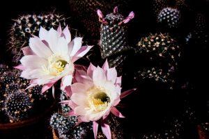Echinopsis-Hybride-1989