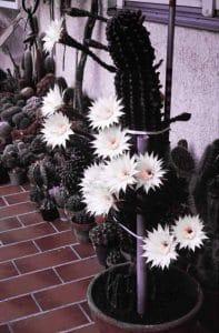 Echinopsis-Kirchheim-1980