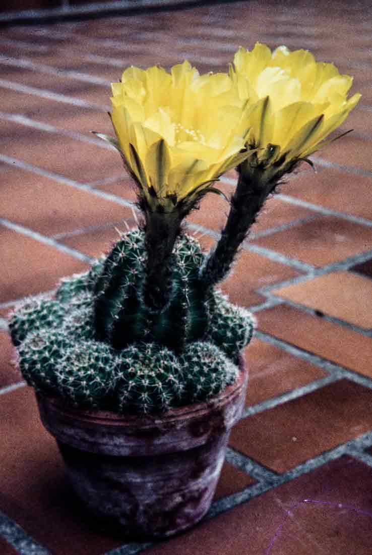 Echinopsis aureaKirchheim Mai 1981