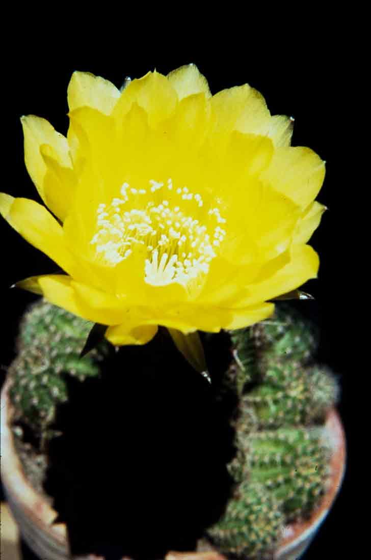Echinopsis-aurea-1982