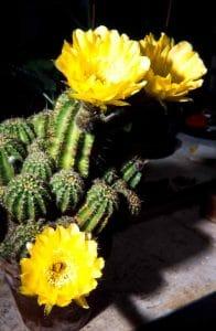 Echinopsis-aurea-1990