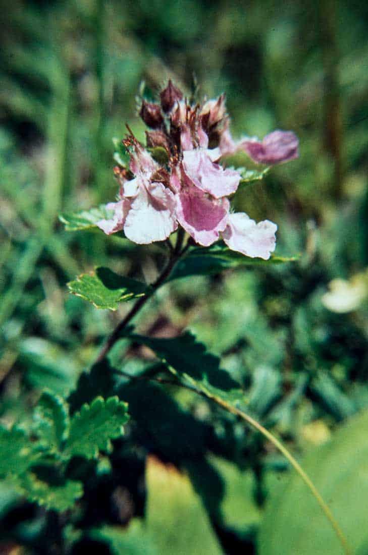 Geraniceae, Labiatae, Papveraceae 2