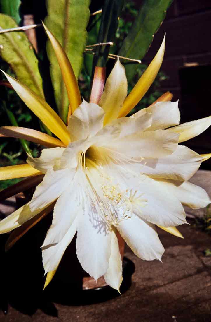 Epiphyllum-1958