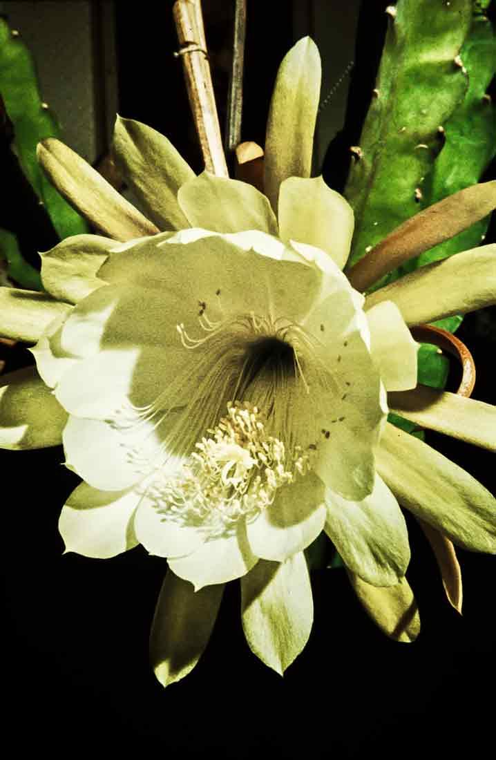 Epiphyllum 1959