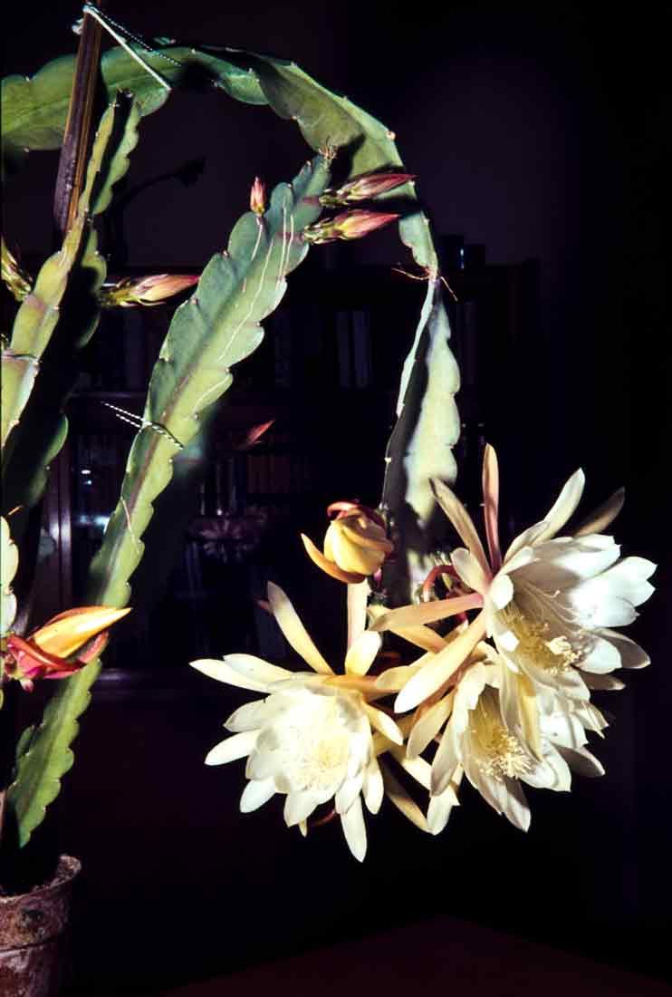 Epiphyllum 1962
