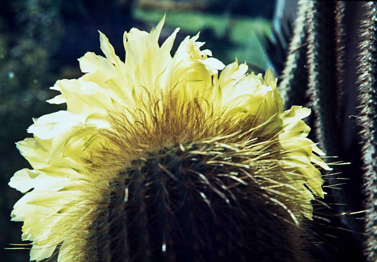 Eriocactus