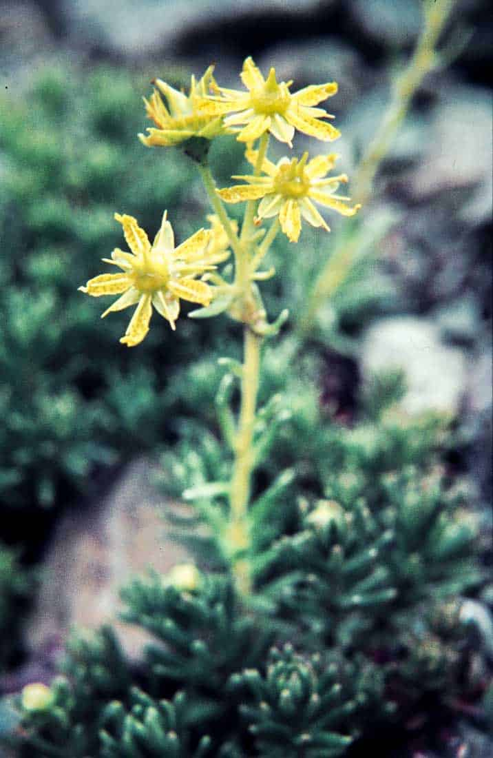Saxifragaceae 5