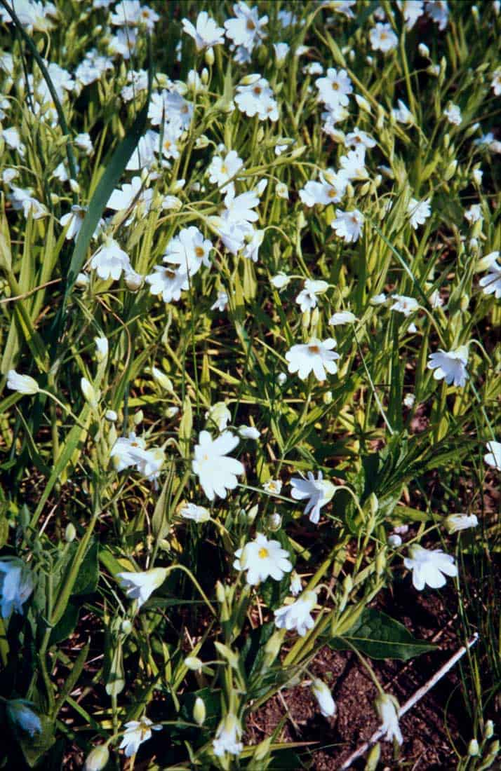 Grossbluetige-Sternmiere-1991