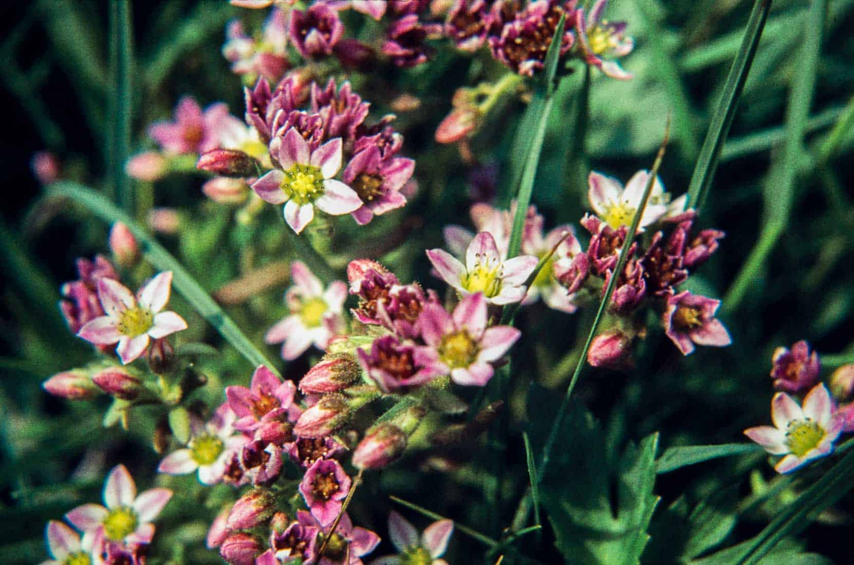 Violaceae 4