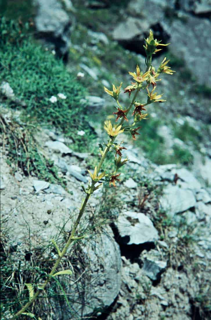 Saxifragaceae 6