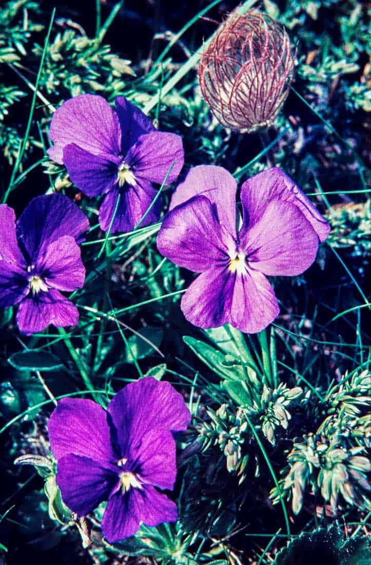 Violaceae 1