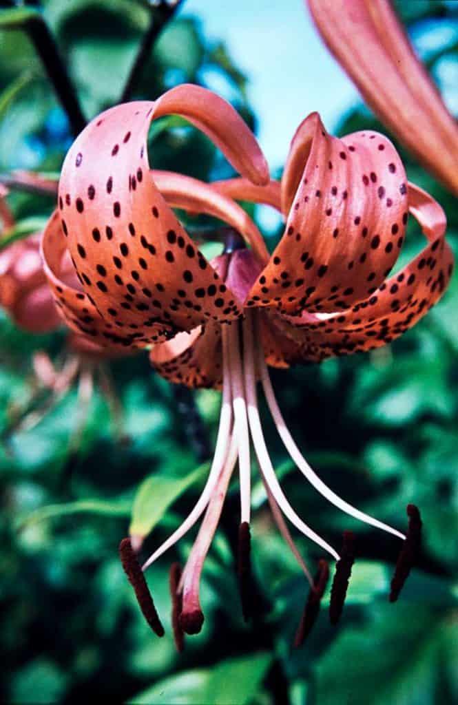 Lilium tigrinum 1962