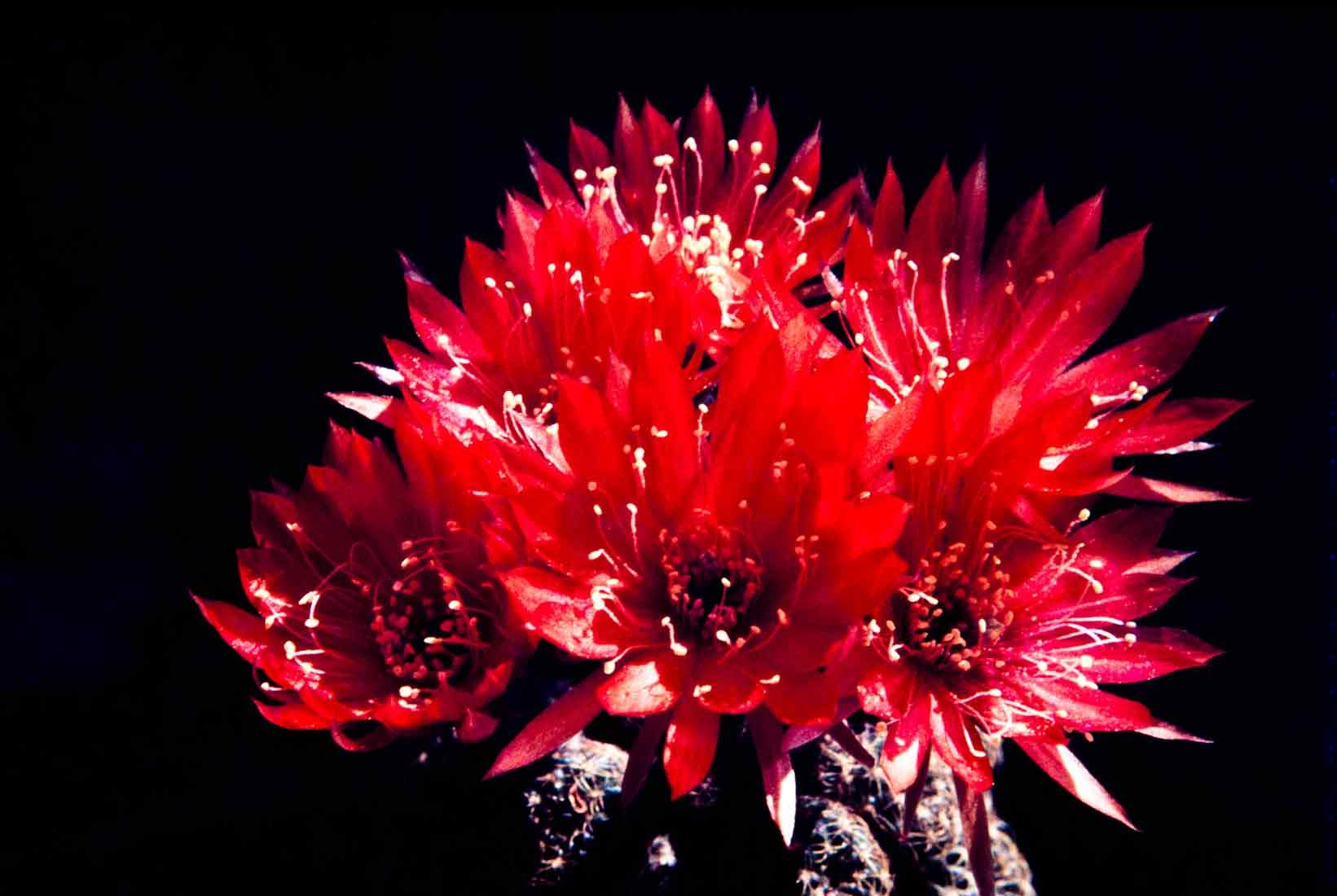 Lobivia arachnacantha 1981