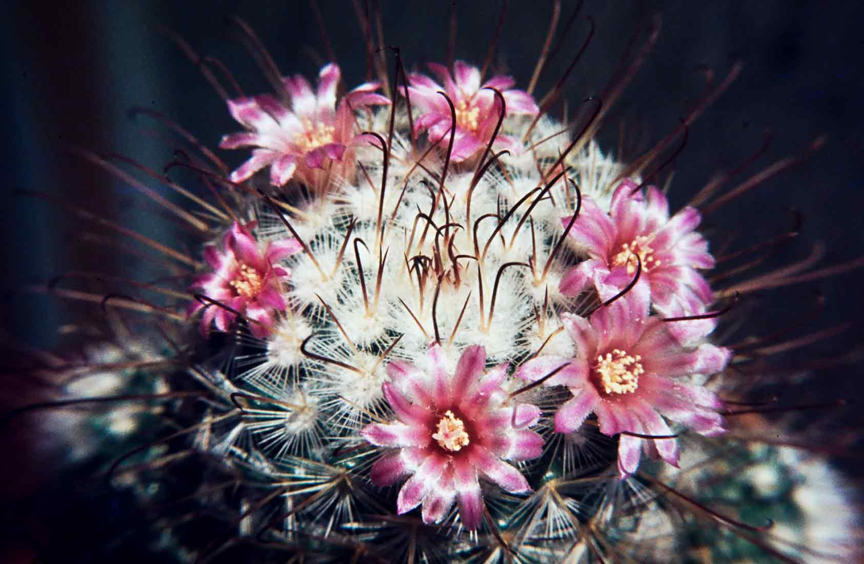 Mammillaria-bombycina-1981