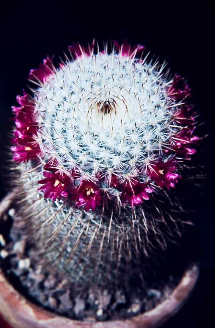 Mammillaria elegans 1983