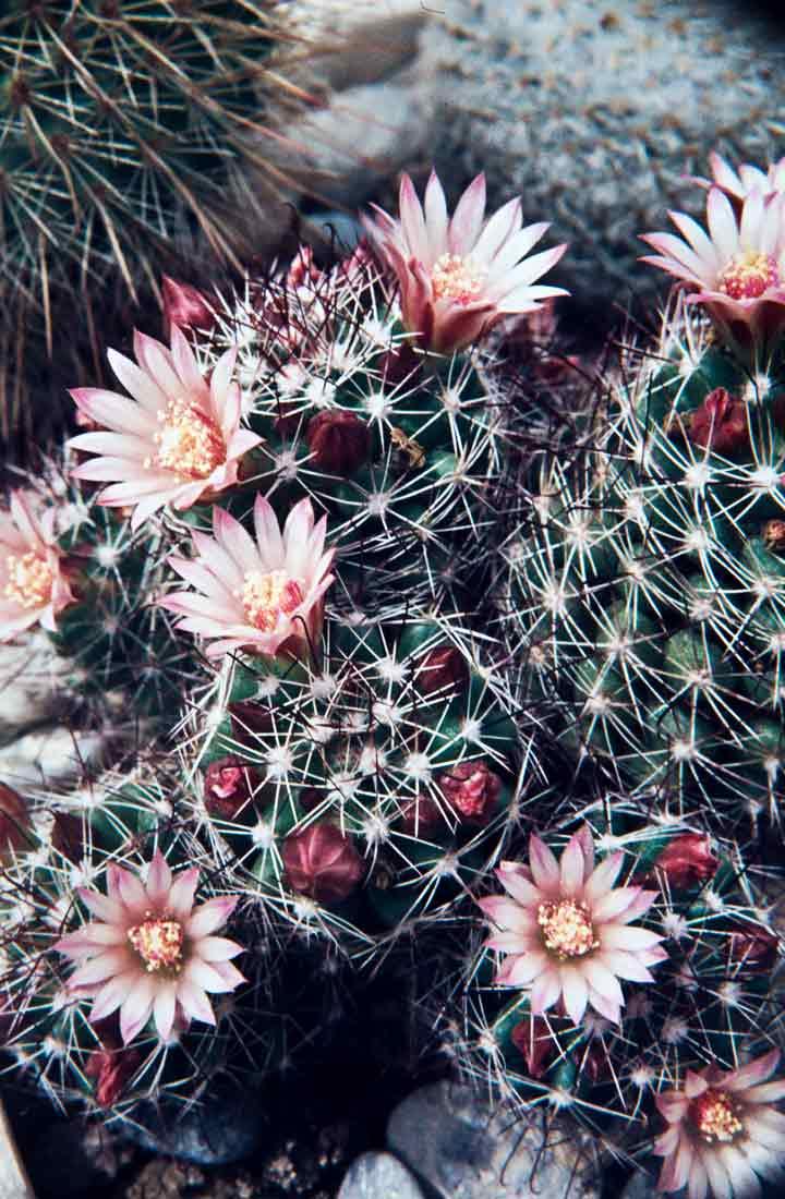 Mammillaria-fittkaui-1984