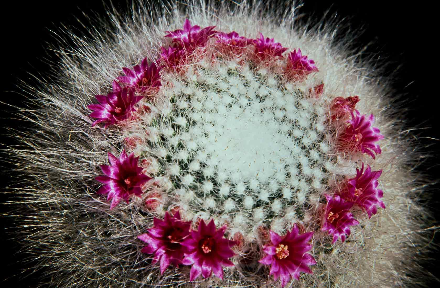 Mammillaria hahniana 1989