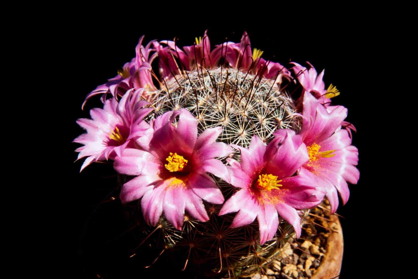 Mammillaria insularis 1990